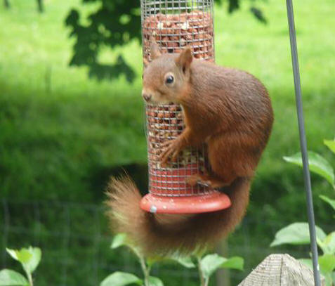 05f82aa5fee60b ... Red squirrel sighted in Buckden village Kevin and Debbie photographed  this red squirrel visiting their bird feeder on Thursday